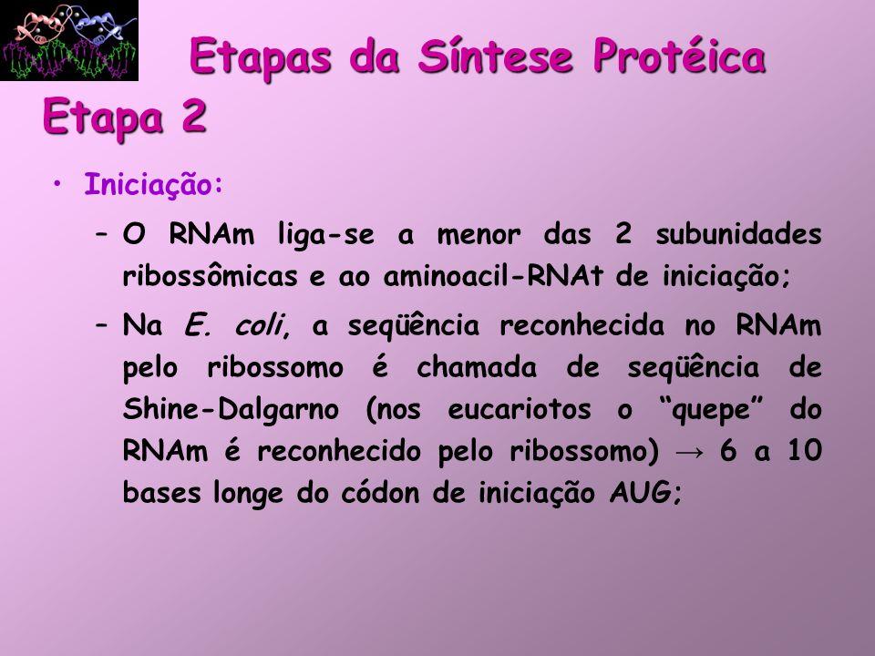 Iniciação: –O RNAm liga-se a menor das 2 subunidades ribossômicas e ao aminoacil-RNAt de iniciação; –Na E. coli, a seqüência reconhecida no RNAm pelo