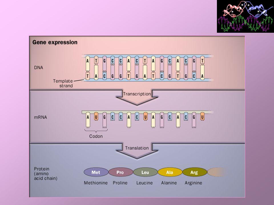 Código Genético Dicionário correspondência da seqüência de nucleotídeos levando à seqüência de aminoácidos; Códon 3 bases nucleotídicas no RNAm que codificam cada aminoácido (palavra); Códon: –RNAm A, G, C e U; –escrita da direção 5 para 3; –64 combinações diferentes de bases;