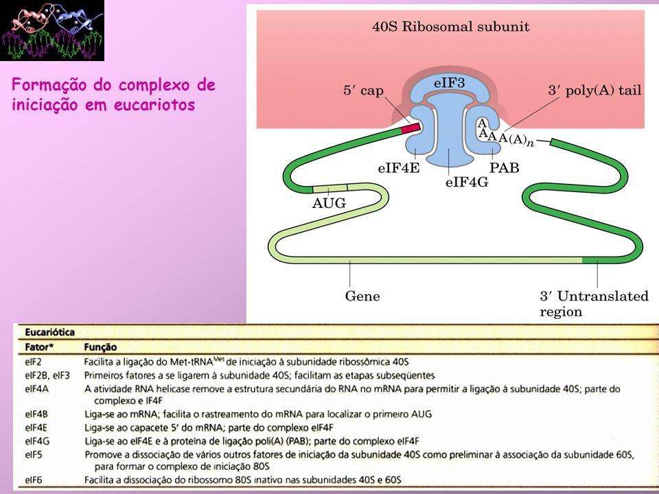 Alongamento: –Fatores de alongamento são necessários (EF-Tu, EF-Ts, EF-G); –Peptidiltransferase (ribozima) liga o peptídeo em formação e o AA a ser adicionado; –Após a ligação peptídica se formar, o ribossomo avança 3 nucleotídeos na direção 3 Translocação (requer energia, GTP).
