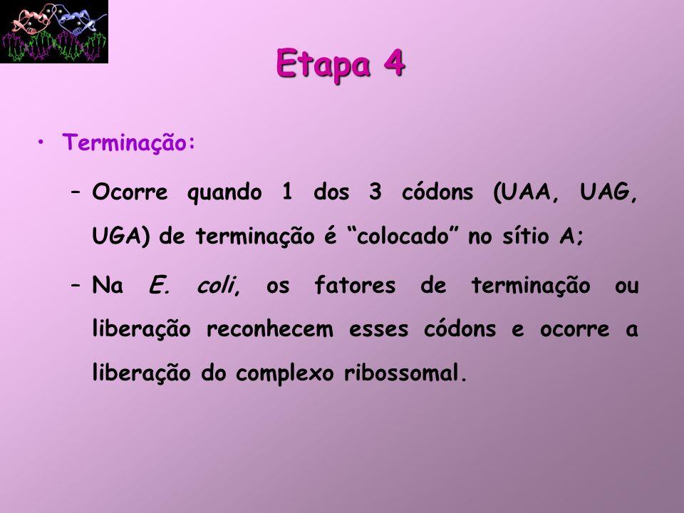 Terminação: –Ocorre quando 1 dos 3 códons (UAA, UAG, UGA) de terminação é colocado no sítio A; –Na E. coli, os fatores de terminação ou liberação reco