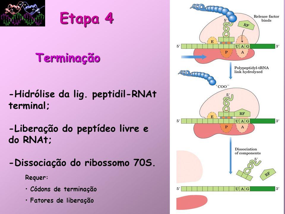 Terminação -Hidrólise da lig. peptidil-RNAt terminal; -Liberação do peptídeo livre e do RNAt; -Dissociação do ribossomo 70S. Requer: Códons de termina
