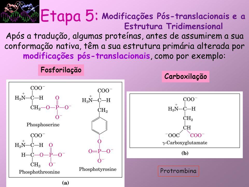 Metilação Outras Modificações Modificações Pós-translacionais e a Estrutura Tridimensional Etapa 5: Monometil e dimetilisina-Proteínas musculares e citocromoc Trimetilisina- Calmodulina