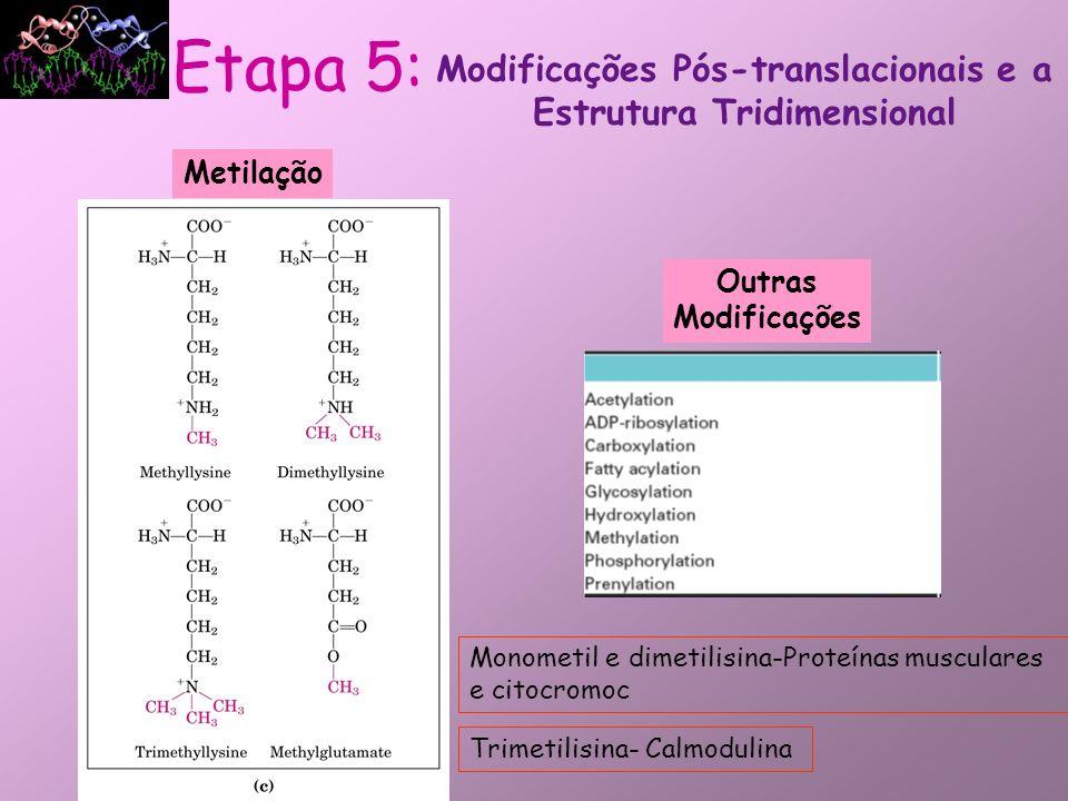Metilação Outras Modificações Modificações Pós-translacionais e a Estrutura Tridimensional Etapa 5: Monometil e dimetilisina-Proteínas musculares e ci