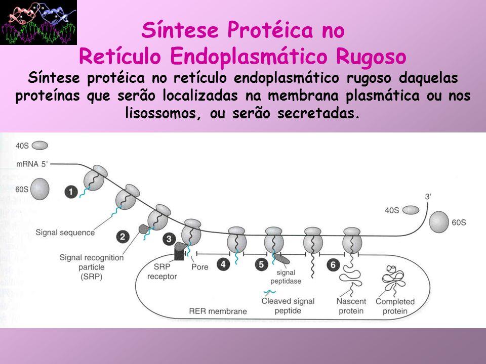 Síntese Protéica no RER Síntese proteíca no reticulo endoplasmático rugoso daquelas proteínas que serão localizadas na membrana plasmática ou nos lisossomos, ou serão secretadas