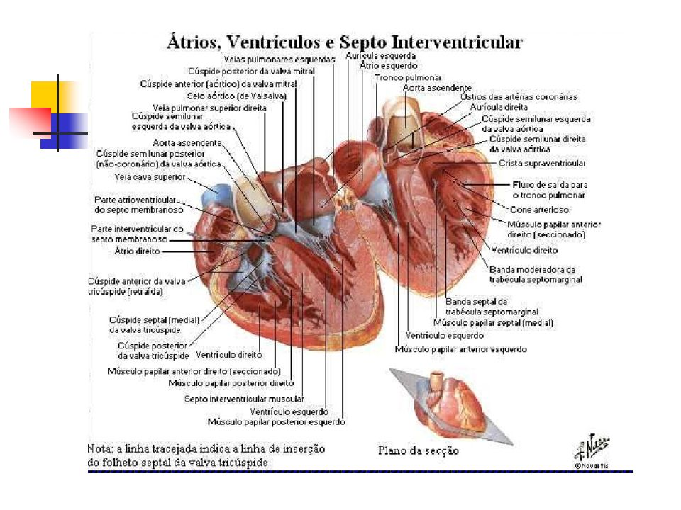 Na radiografia frontal entre os botões aórtico (Ao) e pulmonar (AP) pode ser vista uma concavidade que está relacionada à janela aortopulmonar (JAP).