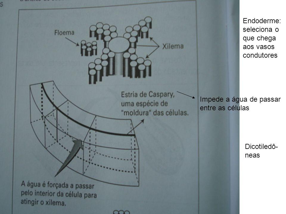 Endoderme: seleciona o que chega aos vasos condutores Impede a água de passar entre as células Dicotiledô- neas