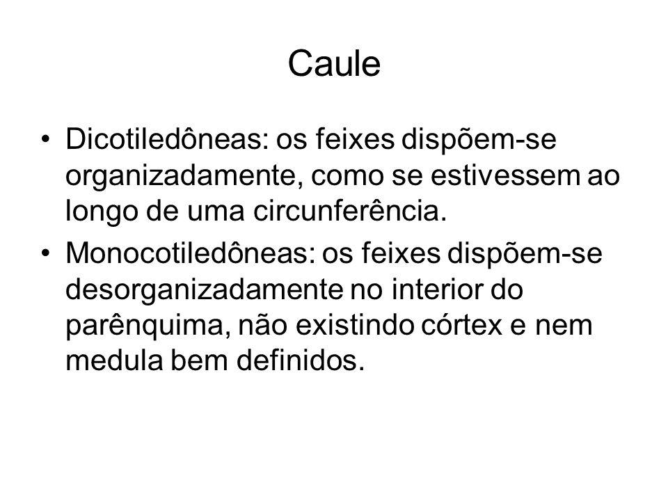 Caule Dicotiledôneas: os feixes dispõem-se organizadamente, como se estivessem ao longo de uma circunferência. Monocotiledôneas: os feixes dispõem-se