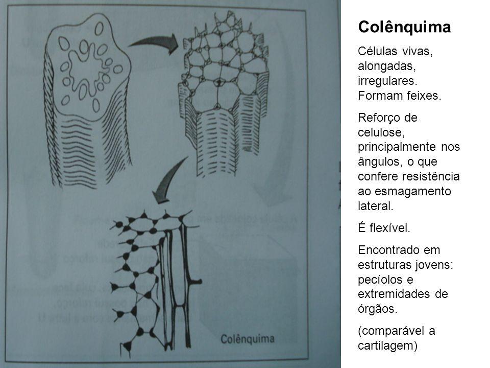 Colênquima Células vivas, alongadas, irregulares. Formam feixes. Reforço de celulose, principalmente nos ângulos, o que confere resistência ao esmagam