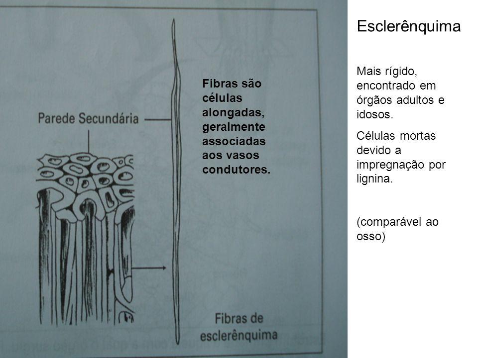 Esclerênquima Mais rígido, encontrado em órgãos adultos e idosos. Células mortas devido a impregnação por lignina. (comparável ao osso) Fibras são cél
