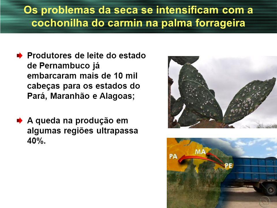 Os problemas da seca se intensificam com a cochonilha do carmin na palma forrageira Produtores de leite do estado de Pernambuco já embarcaram mais de