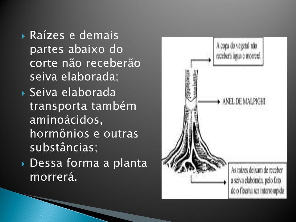 Raízes e demais partes abaixo do corte não receberão seiva elaborada; Seiva elaborada transporta também aminoácidos, hormônios e outras substâncias; D