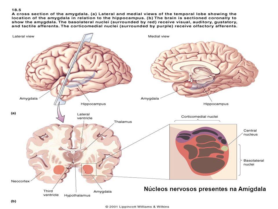Núcleos nervosos presentes na Amígdala