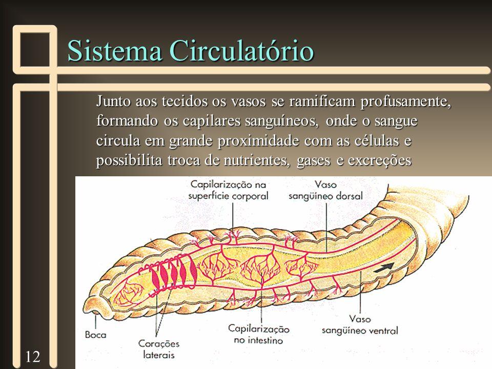 12 Sistema Circulatório Junto aos tecidos os vasos se ramificam profusamente, formando os capilares sanguíneos, onde o sangue circula em grande proxim