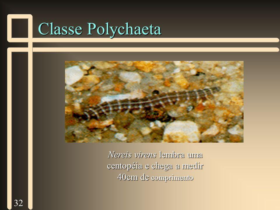 32 Classe Polychaeta Nereis virens lembra uma centopéia e chega a medir 40cm de comprimento