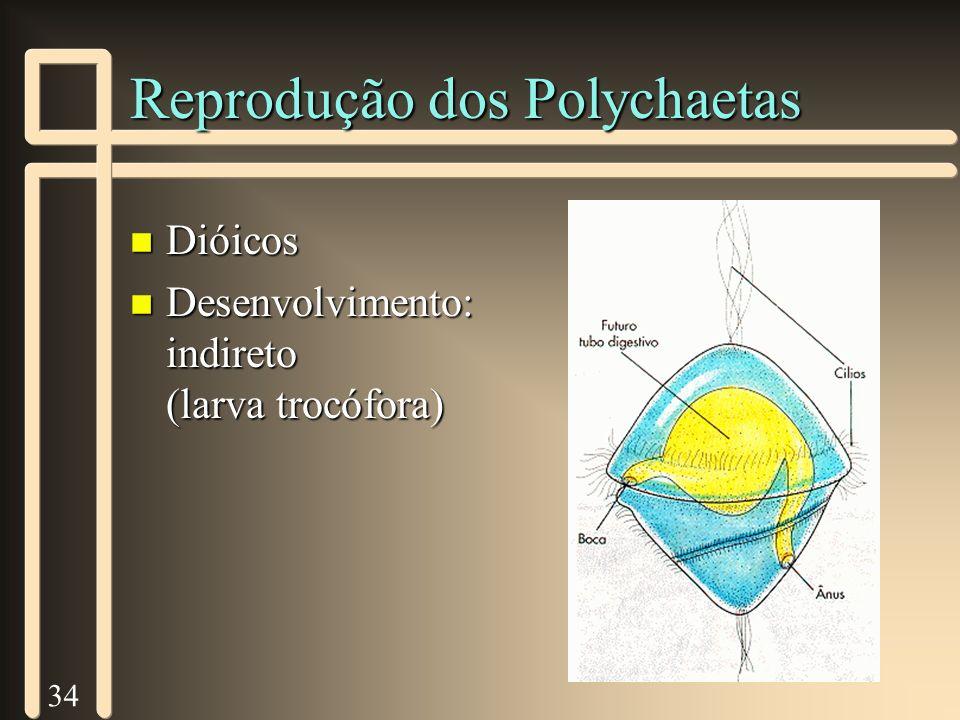 34 Reprodução dos Polychaetas n Dióicos n Desenvolvimento: indireto (larva trocófora)