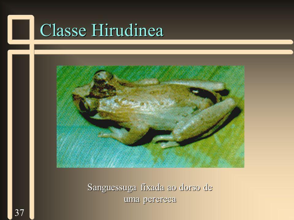 37 Classe Hirudinea Sanguessuga fixada ao dorso de uma perereca