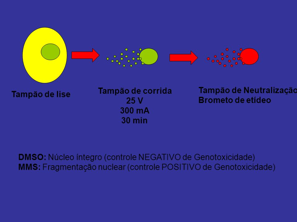 Tampão de lise Tampão de corrida 25 V 300 mA 30 min Tampão de Neutralização Brometo de etídeo DMSO: Núcleo íntegro (controle NEGATIVO de Genotoxicidad