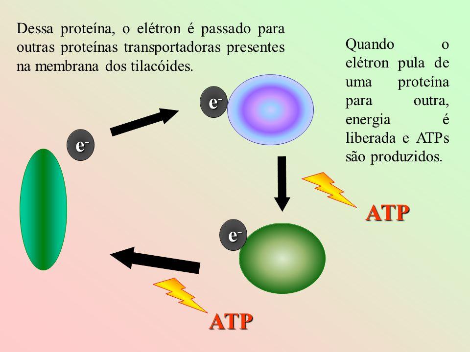 e-e-e-e- e-e-e-e- e-e-e-e- ATP ATP Dessa proteína, o elétron é passado para outras proteínas transportadoras presentes na membrana dos tilacóides. Qua