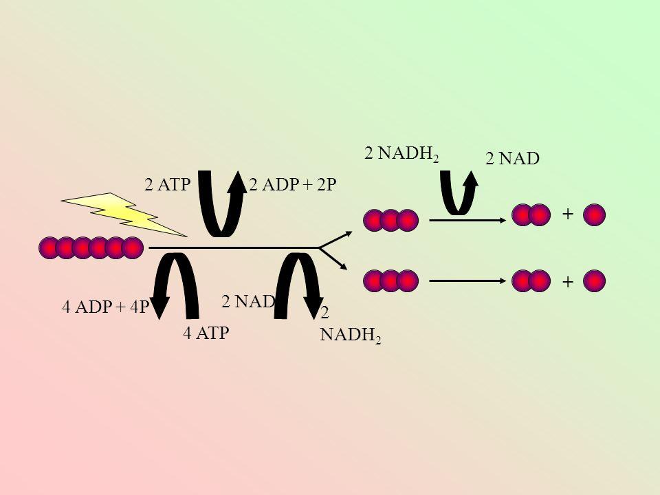 + + 2 ATP2 ADP + 2P 4 ATP 4 ADP + 4P 2 NAD 2 NADH 2 2 NAD 2 NADH 2