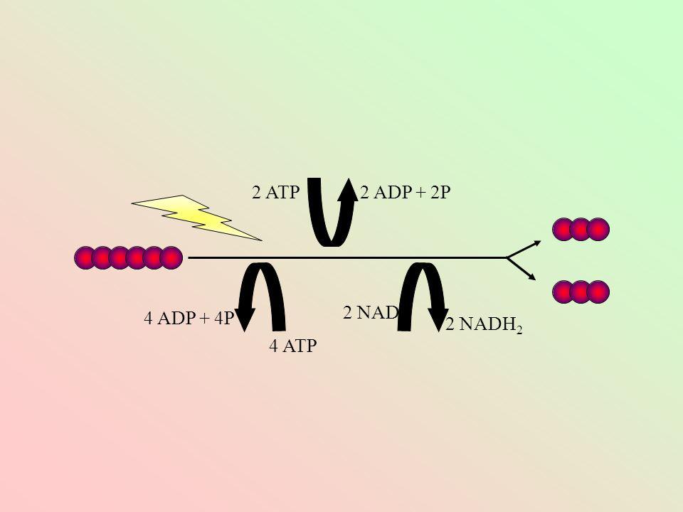 2 ATP2 ADP + 2P 4 ATP 4 ADP + 4P 2 NAD 2 NADH 2