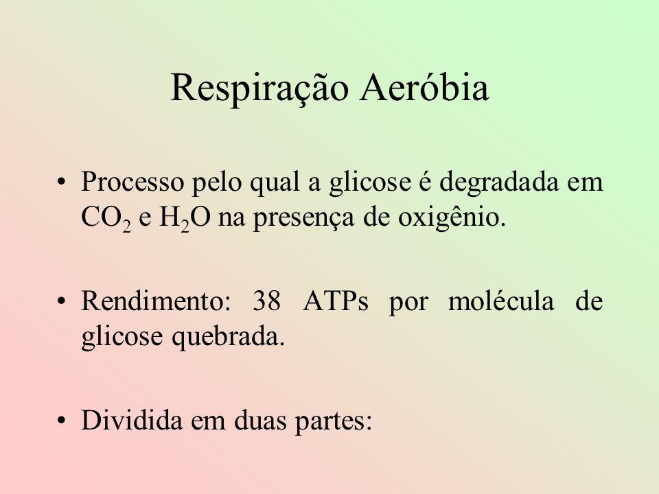 Respiração Aeróbia Processo pelo qual a glicose é degradada em CO 2 e H 2 O na presença de oxigênio. Rendimento: 38 ATPs por molécula de glicose quebr