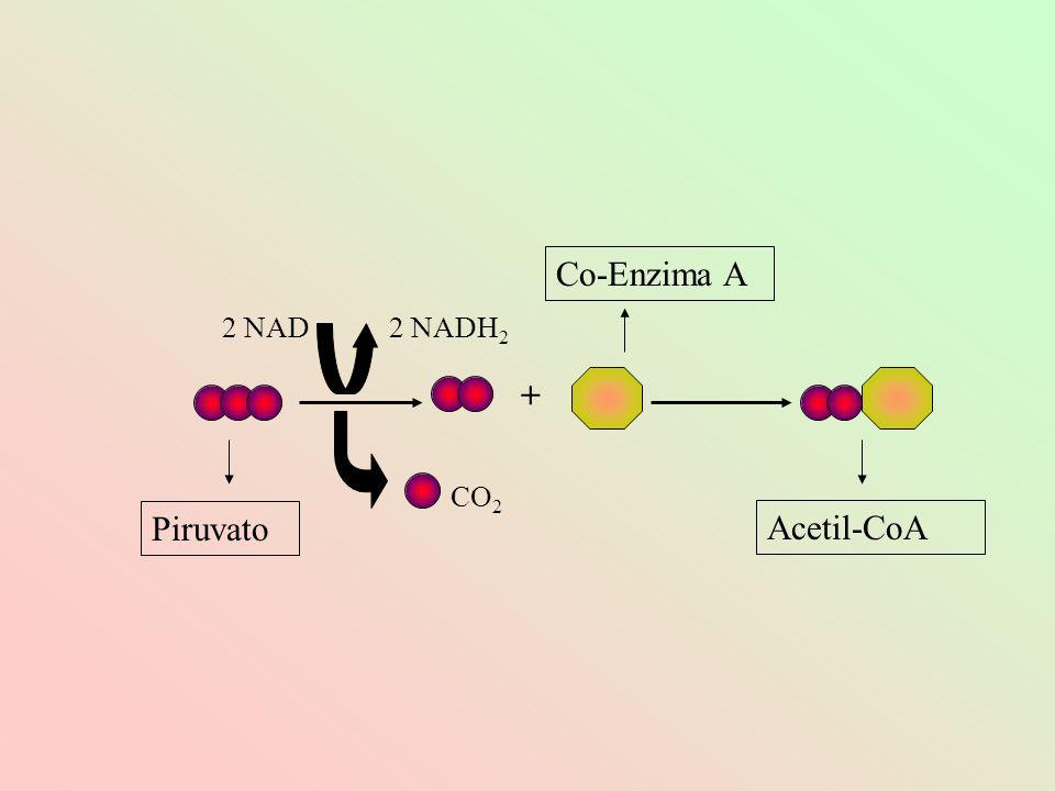 2 NAD2 NADH 2 CO 2 + Co-Enzima A Acetil-CoA Piruvato
