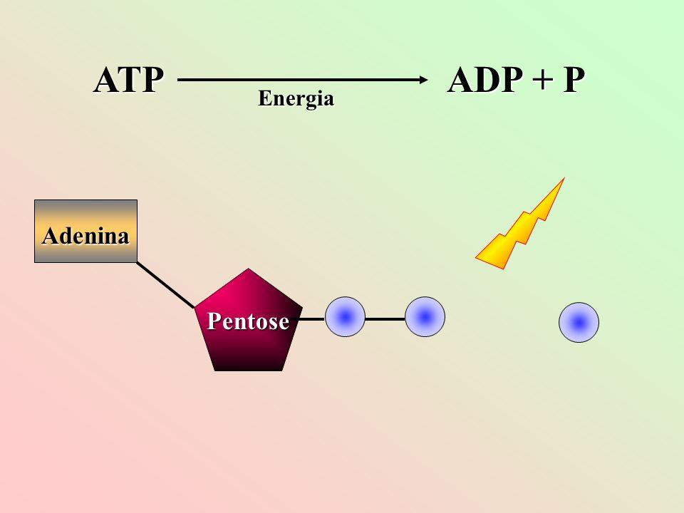 e-e-e-e- e-e-e-e- e-e-e-e- ATP ATP Dessa proteína, o elétron é passado para outras proteínas transportadoras presentes na membrana dos tilacóides.
