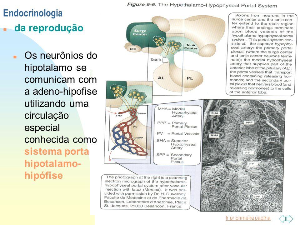 Ir p/ primeira página Endocrinologia n da reprodução n Os neurônios do hipotalamo se comunicam com a adeno-hipofise utilizando uma circulação especial