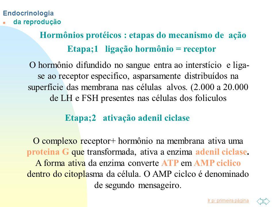 Endocrinologia n da reprodução Hormônios protéicos : etapas do mecanismo de ação Etapa;1 ligação hormônio = receptor O hormônio difundido no sangue en
