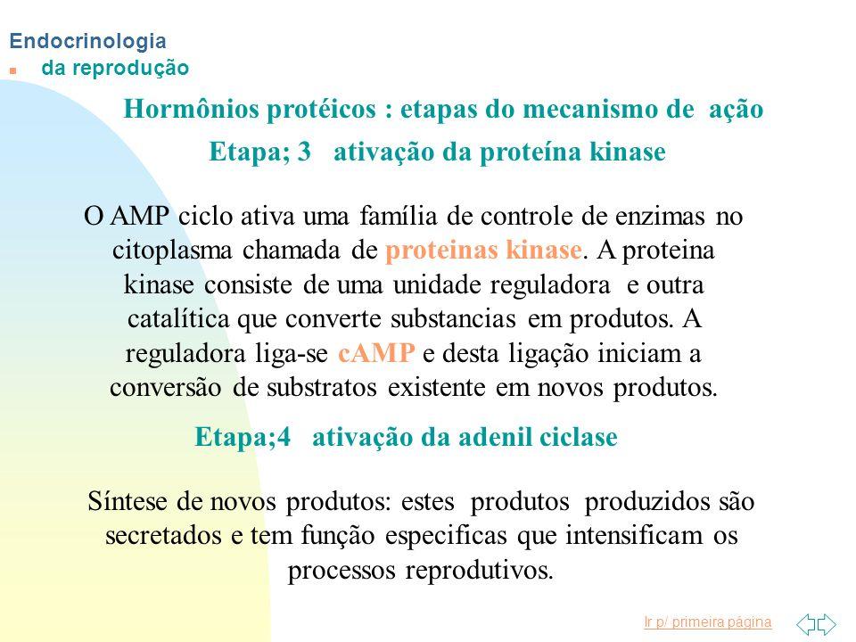 Ir p/ primeira página Endocrinologia n da reprodução Hormônios protéicos : etapas do mecanismo de ação Etapa; 3 ativação da proteína kinase Etapa;4 at