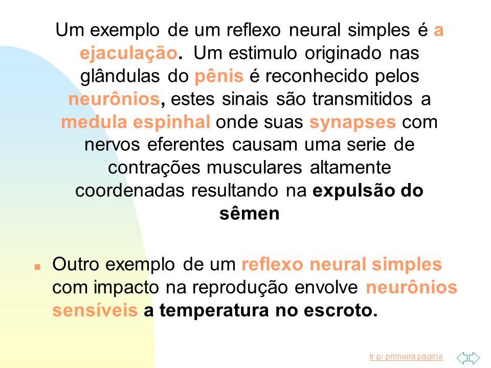 Um exemplo de um reflexo neural simples é a ejaculação. Um estimulo originado nas glândulas do pênis é reconhecido pelos neurônios, estes sinais são t