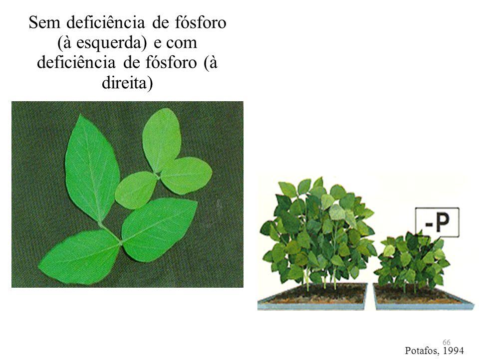 Sem deficiência de fósforo (à esquerda) e com deficiência de fósforo (à direita) 66 Potafos, 1994