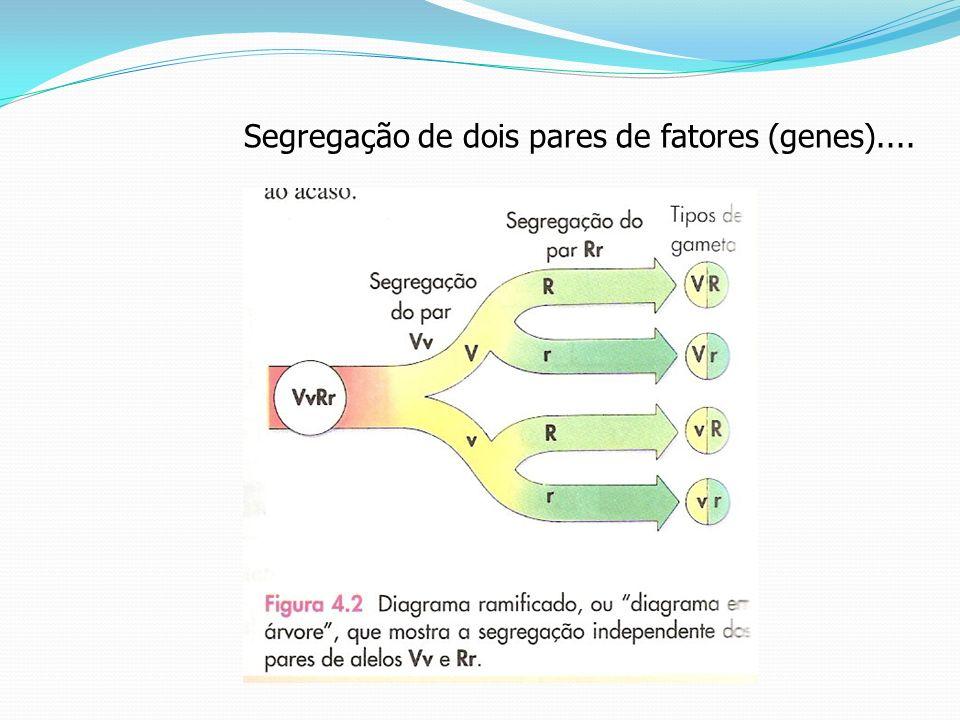 Segregação de dois pares de fatores (genes)....