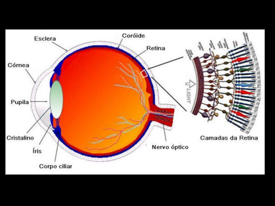 CÓRNEA Parte mais anterior do olho É totalmente transparente Não contém vasos sanguíneos O recebimento de oxigênio e nutrientes é feito pelas lágrimas e pelo humor aquoso, por difusão A sua principal função é convergir as imagens para a retina Seu poder refrativo não pode ser alterado fisiologicamente