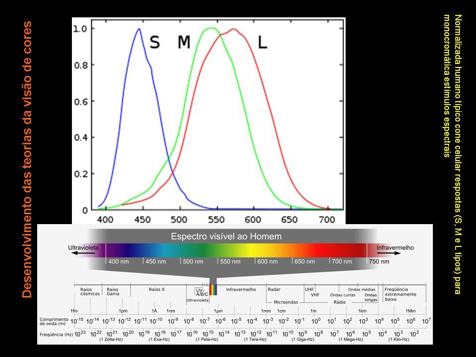 Normalizada humano típico cone celular respostas (S, M e L tipos) para monocromática estímulos espectrais Desenvolvimento das teorias da visão de core