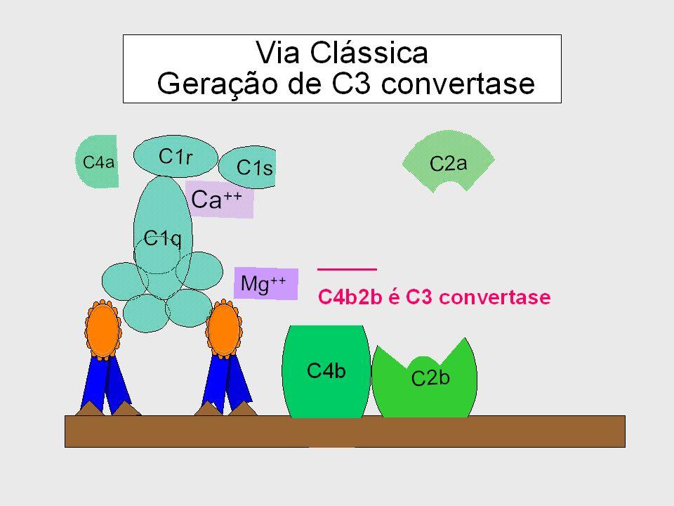 Controle da ativação espontânea de C3 via DAF DAF desloca o C3b-ligado ao fator Bb B bb C3b Membrana Celular DAF CR1 B b