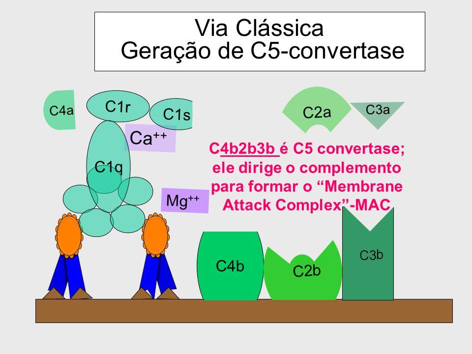 Via Clássica Geração de C5-convertase C4b Mg ++ C4a Ca ++ C1r C1s C1q C2a C2 b C3 C3a b C4b2b3b é C5 convertase; ele dirige o complemento para formar o Membrane Attack Complex-MAC