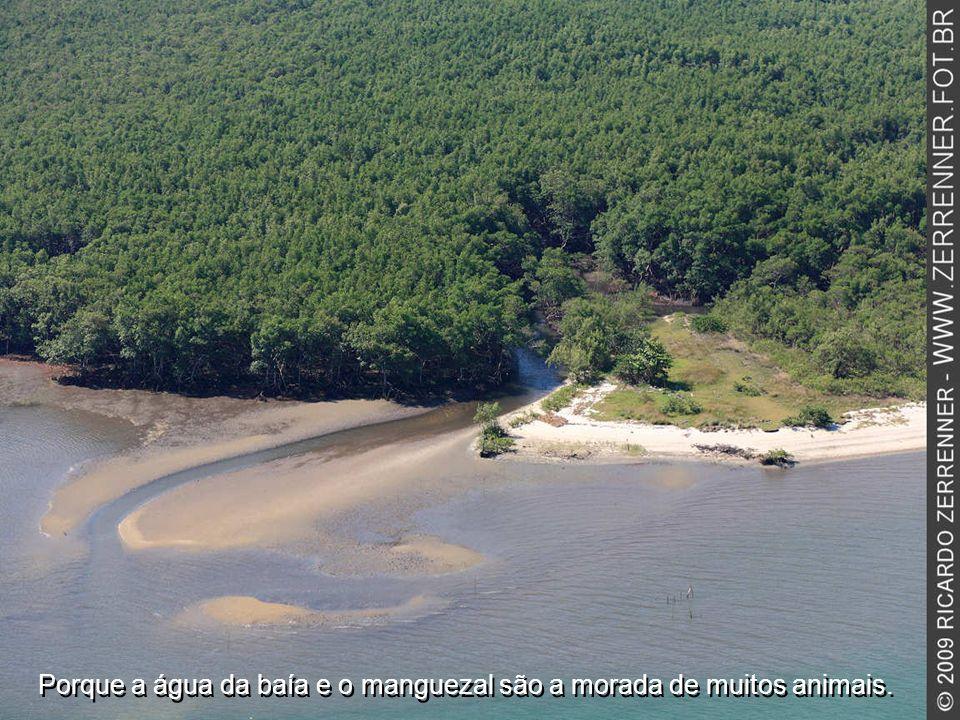 Ela limita o ímpeto do mar e abriga os canais que fluem pelo manguezal.