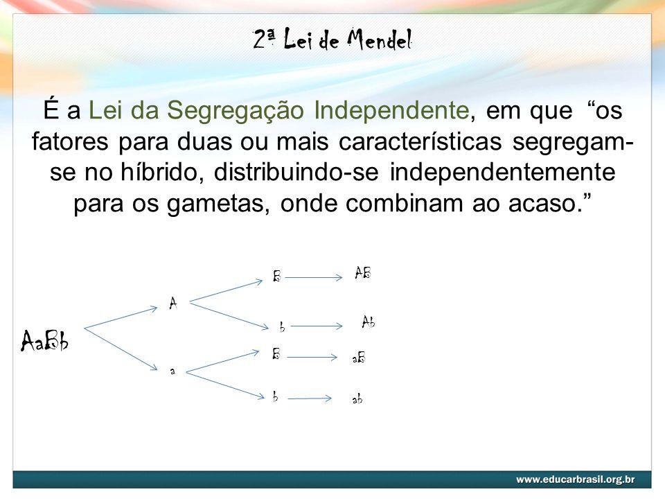 2ª Lei de Mendel É a Lei da Segregação Independente, em que os fatores para duas ou mais características segregam- se no híbrido, distribuindo-se inde