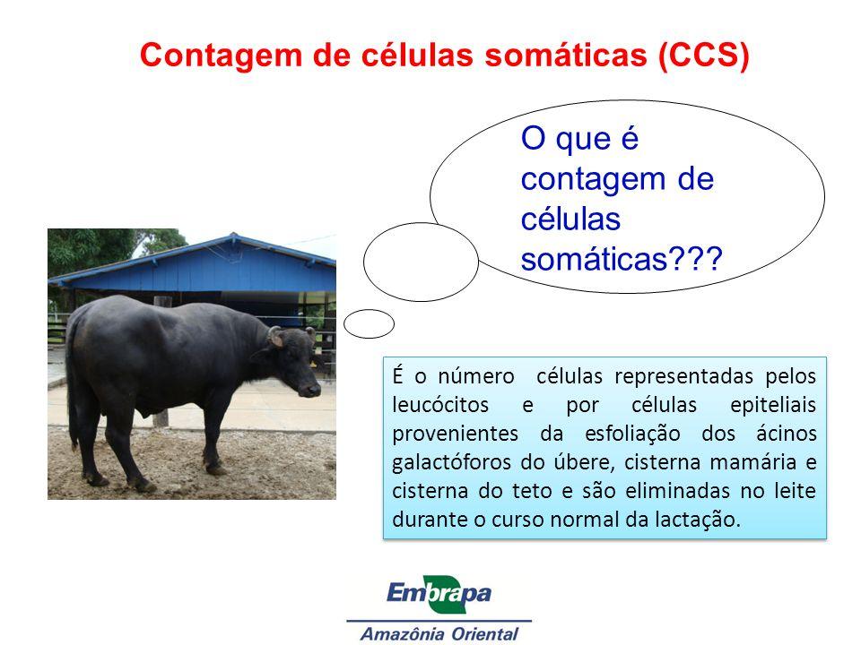 Contagem de células somáticas (CCS) O que é contagem de células somáticas??? É o número células representadas pelos leucócitos e por células epiteliai
