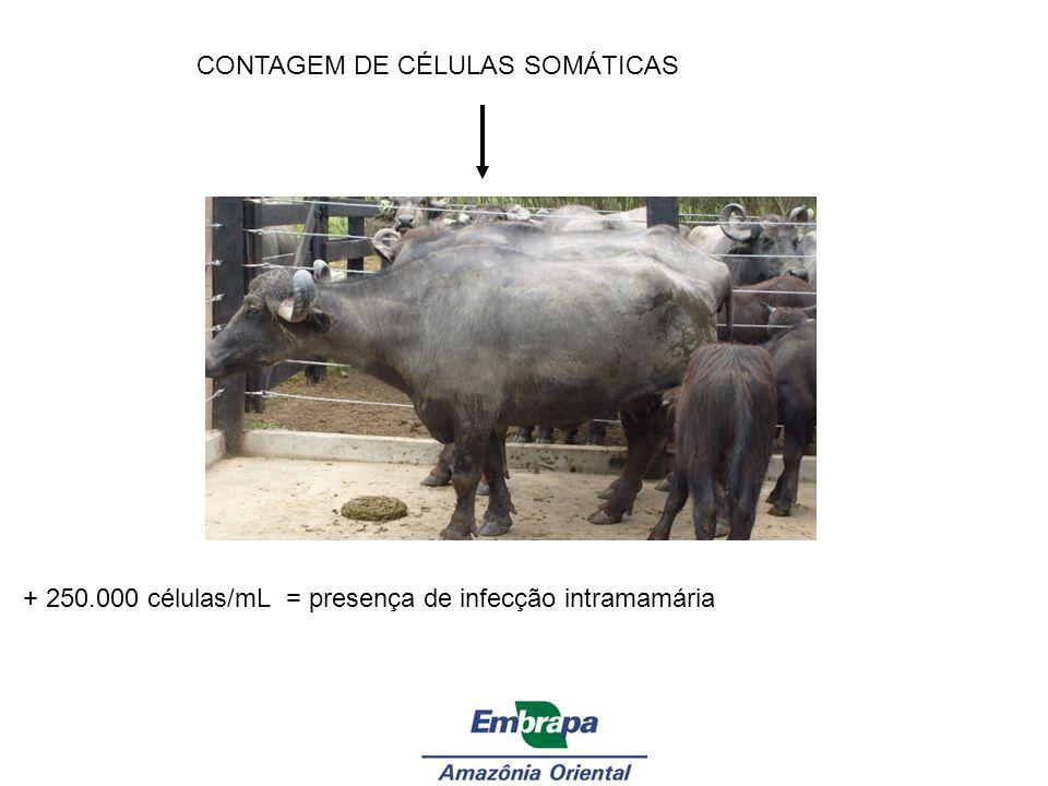 CONTAGEM DE CÉLULAS SOMÁTICAS + 250.000 células/mL = presença de infecção intramamária