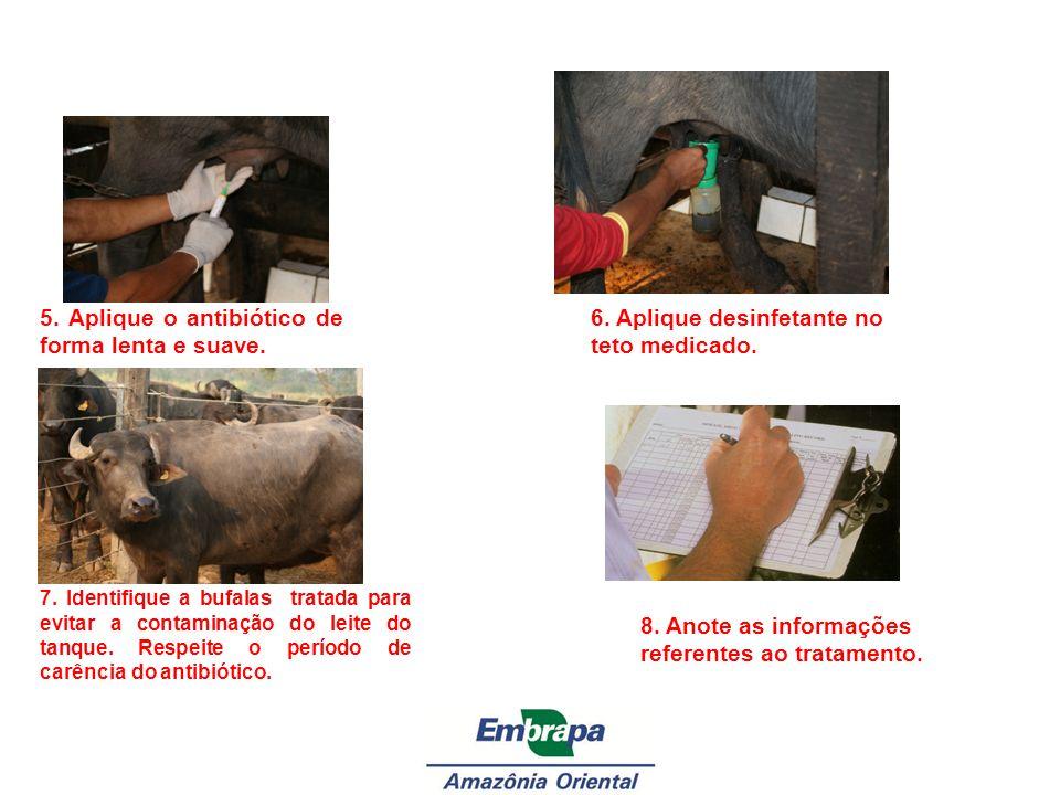 5. Aplique o antibiótico de forma lenta e suave. 6. Aplique desinfetante no teto medicado. 7. Identifique a bufalas tratada para evitar a contaminação