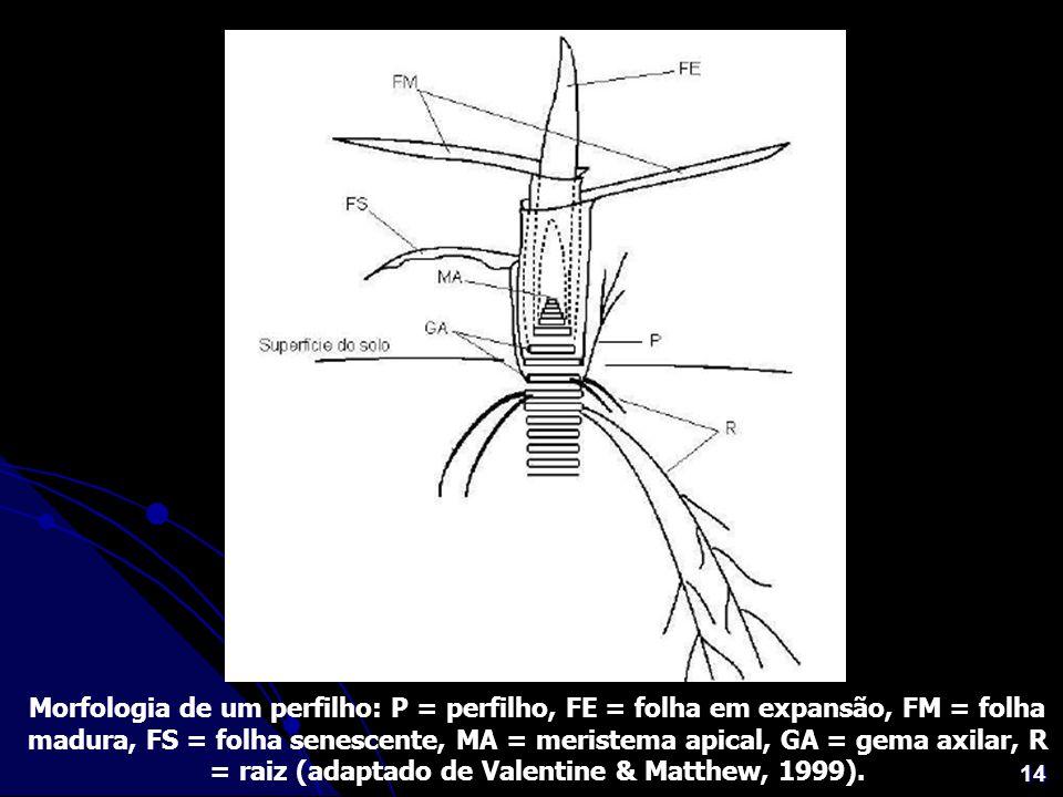 14 Morfologia de um perfilho: P = perfilho, FE = folha em expansão, FM = folha madura, FS = folha senescente, MA = meristema apical, GA = gema axilar,