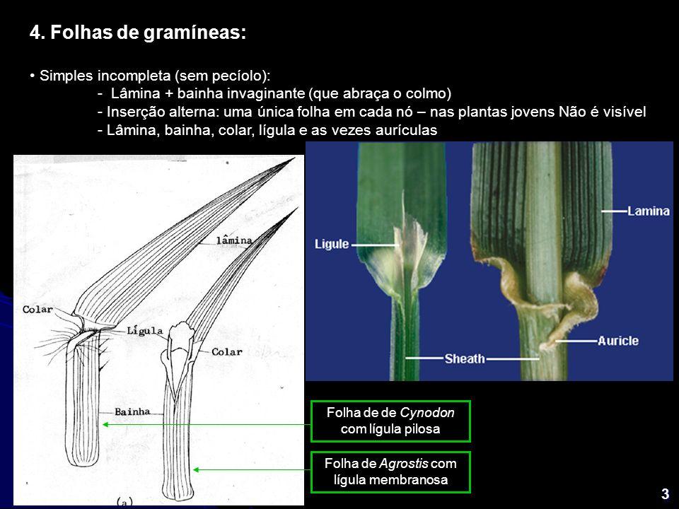 3 4. Folhas de gramíneas: Simples incompleta (sem pecíolo): - Lâmina + bainha invaginante (que abraça o colmo) - Inserção alterna: uma única folha em