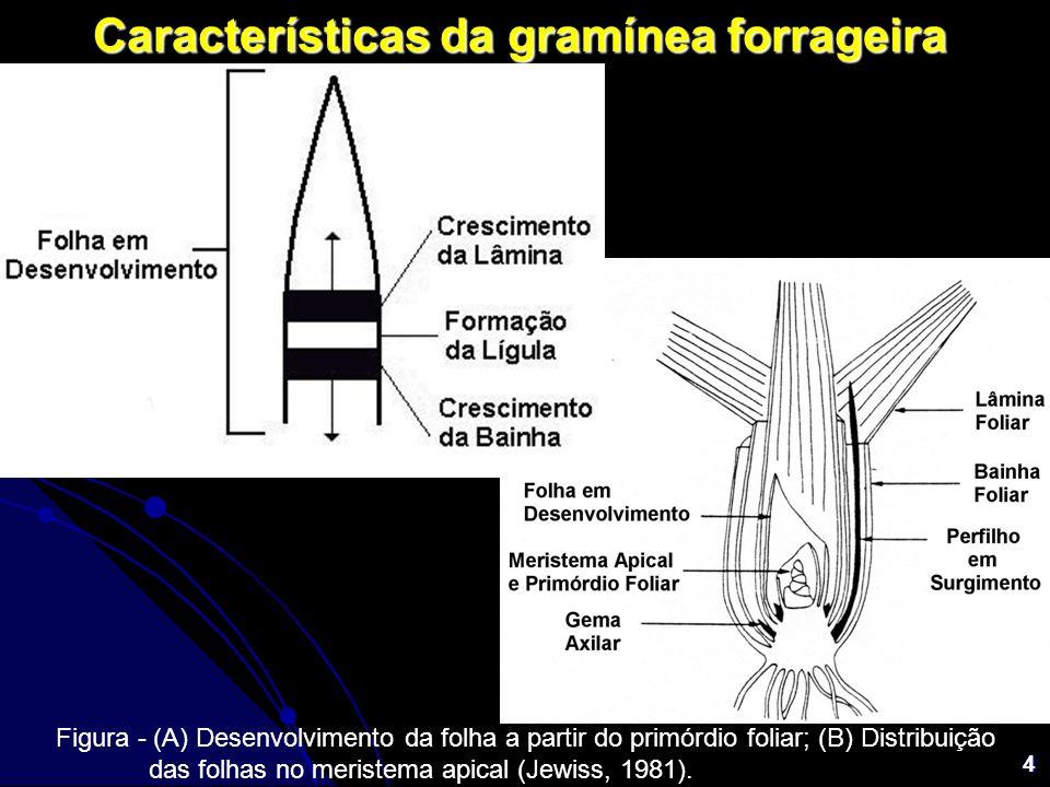 4 Características da gramínea forrageira Figura - (A) Desenvolvimento da folha a partir do primórdio foliar; (B) Distribuição das folhas no meristema