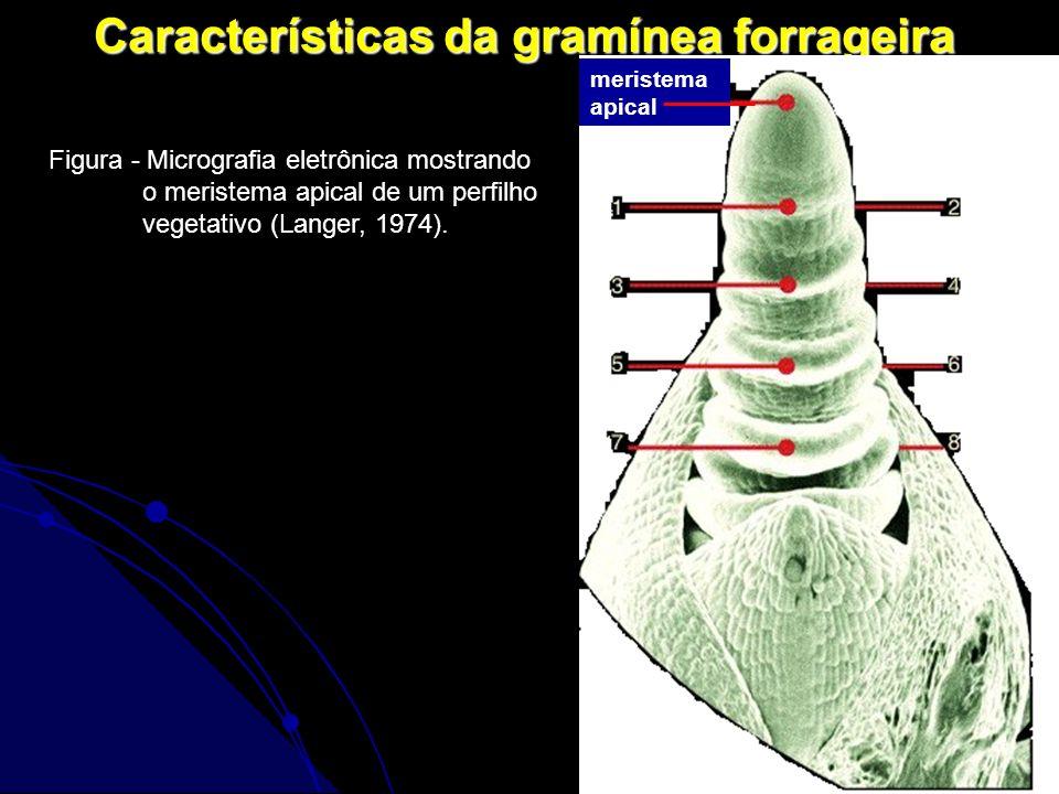 5 Características da gramínea forrageira Figura - Micrografia eletrônica mostrando o meristema apical de um perfilho vegetativo (Langer, 1974). merist