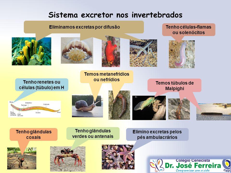 Sistema excretor nos invertebrados Eliminamos excretas por difusão Tenho células-flamas ou solenócitos Tenho renetes ou células (túbulo) em H Temos me