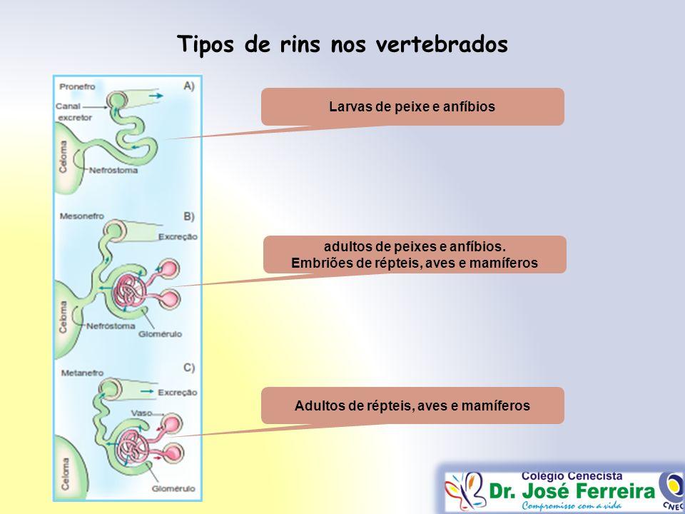 Tipos de rins nos vertebrados Larvas de peixe e anfíbios adultos de peixes e anfíbios. Embriões de répteis, aves e mamíferos Adultos de répteis, aves