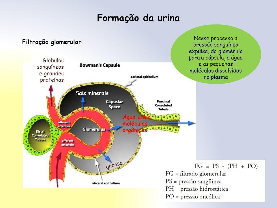 Formação da urina Água glicose Glicose, aa e parte dos sais Glicose e aa Por transporte ativo, glicose, aa e sais são reabsorvidos Sangue fica mais concentrado Cerca de 80% a 85% da água são reabsorvidos por osmose Água sais Túbulo contorcido proximal Alça de Henle Ramo descendente – reabsorção de água por osmose Ramo ascendente – reabsorção de sais por transporte ativo Túbulo contorcido distal Reabsorção ativa de sais e de um pouco de glicose As paredes dessa região do néfron tem sensibilidade variável em relação a água Reabsorção