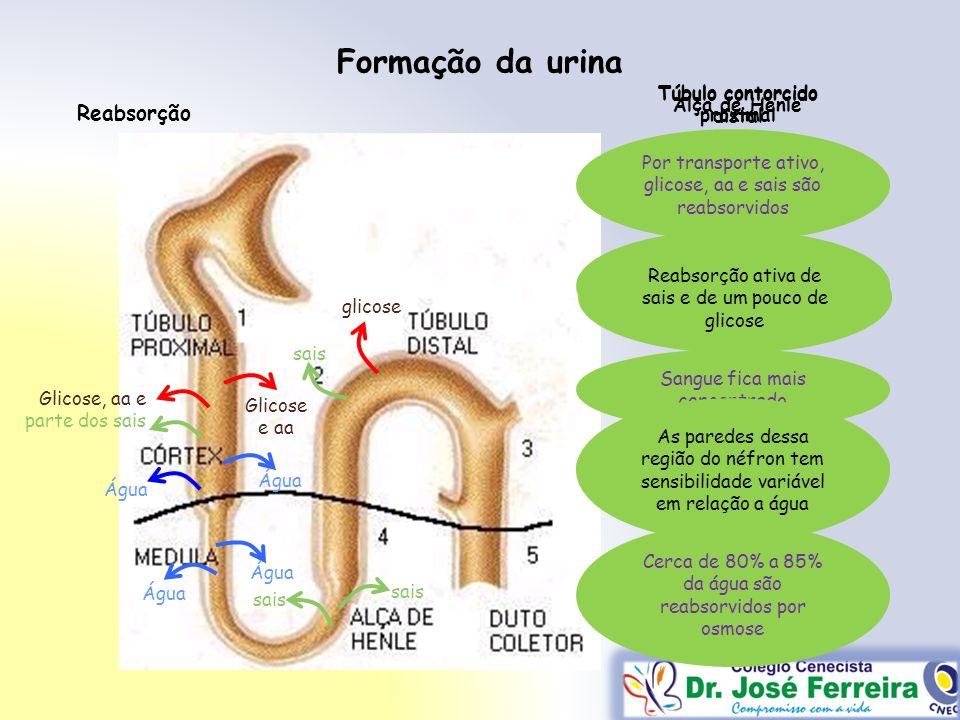 Formação da urina Água glicose Glicose, aa e parte dos sais Glicose e aa Por transporte ativo, glicose, aa e sais são reabsorvidos Sangue fica mais co
